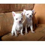 Cachorras Chihuahua Con Pedigree