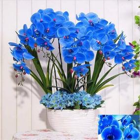20 Sementes Orquídea Azul Phalaenopsis + 20 Orquídea Negra