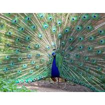 Pavo Real Azul 3 Años De Edad $3200 C/u