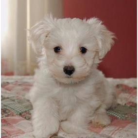 Fillhote De Poodle Micro Toy