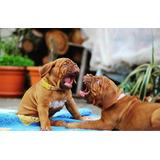 Dogo De Burdeos Cachorros