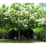 Plantin De Árbol Catalpa Rápido Crecimiento Resiste Sequias