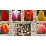 Bulbos De Tulipanes X2. Vivero Sueños Del Alma