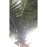 20 Mudas De Coqueiro Coco Anao Verde Da Bahia ***promoção