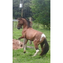 Cavalo Campolino...maravilhoso