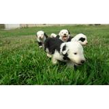 Hermosos Cachorros Ovejeros Bob Tail