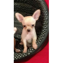 Chihuahuas Mini Mini