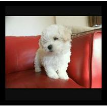 Filhotes De Poodle Toy Macho Linhagem Importada