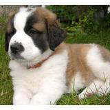 San Bernardo Cachorros Adorables