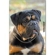 Bulldog - Old English Bulldog - Machos