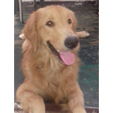 Golden Retriever Busca Novia
