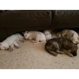 Cachorros Husky Siberianos