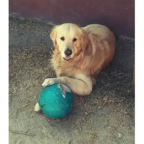 Ofrece Hermosos Cachorros Golden Retriever Como Ositos !!!!
