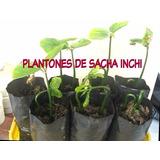 Plantas De Sacha Inchi Omega 3 Y 6