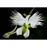 10 Sementes Orquídea Pomba Branca Flor. Bonsai Grama Jardins