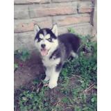 Lindos Cachorritos Husky Siberiano 100% Puros Ojos Celestes