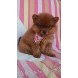 Pomerania Lulu!! Pequeños En Tamaño Grande En Corazón
