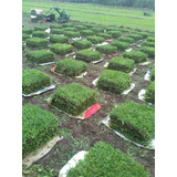 Grass Americano , Grass Paspalum , Grass Bermuda