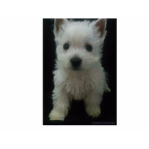 Filhotes Westie Highland White Terrier (macho) Com Pedigree