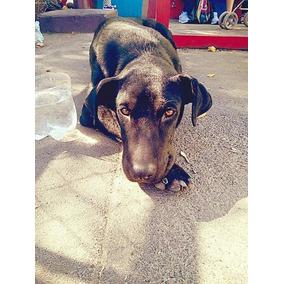Cachorra De 1 Año En Adopción Mestiza De Doberman