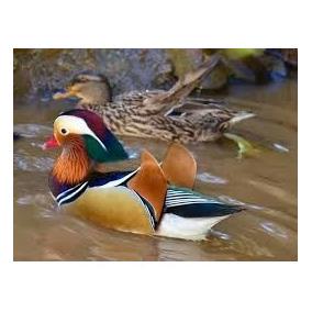 mareco mandarim casal aves para aves e acessórios no mercado livre