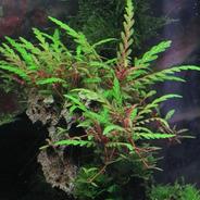 Hygrophila Pinnatifida - Aquaplante - In Vitro