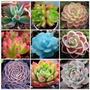 10 Sementes Cacto Lithops Pseudotruncatella Flor Bonsai