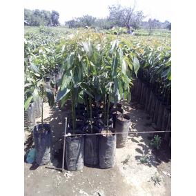 Planta De Aguacate Hass_ Mendez (incluye Envío)