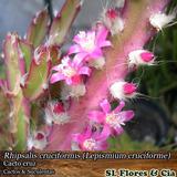 03 Mudas De Rhipsalis Cruciformis - Cactos & Suculentas
