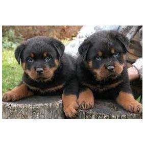 Cachorros Rottweiler Aceptamos Tarjetas!