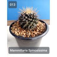 Mudas Cactos Cactus Com Vaso P.11 Mammillaria Spinosissima