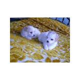 Poodle Mini