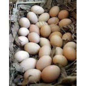 Ovos Indio Gigante Com Galinha Balão Caipira 30 Reais A Duzi