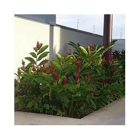 Flores: Alpínea Purpur. Vermelho. Mudas Enraizadas.