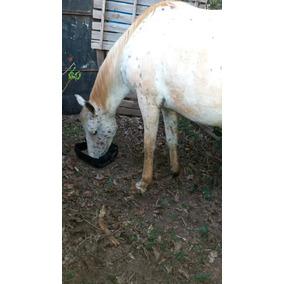 Égua Apalooza Com Quard Milha 4 Anos E Está Prenha De 7 Mês
