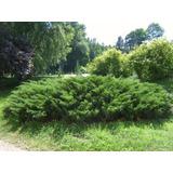 Pino Rastrero - Juniperus - Vivero Kirken