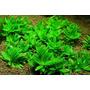 Staurogyne Repens Planta Acuatica Natural