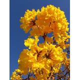200 Sementes Ipê Amarelo Bola Flores Sítio Casa Jardim Rua