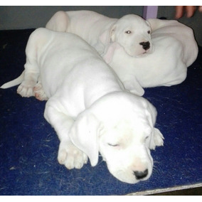 Dogo Argentino Cachorros