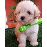 Excelentes Cachorritas French Poodle Mini Toy