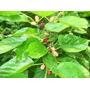 120 Folhas Amora (amoreira)