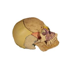 Cráneo Anatómico Desarmable