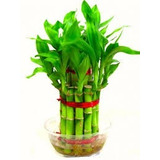 Semilla Vegetativa De Bambu / Guayaquil - Guadua Spp