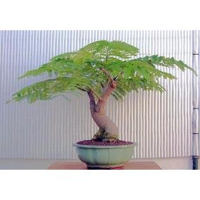 Bonsai Kit 30 Sementes 2 Flamboyant 1 Acacia 1 Caviúna