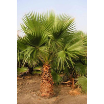 20 Semillas De Washingtonia Robusta - Palma Mexicana $50.00