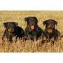 Busco Rottweiler En Adopcion O Perros De Gran Tamano