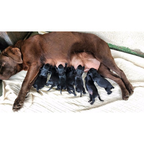 Filhote Labrador Preto Fêmea Nasceu Dia 10/4