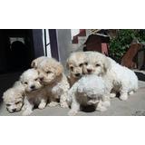 Poodle ,perros Poodle,cachorros Poodle,hermosos Poodleee