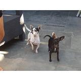 Chiguaguas Excelentes Cachorros