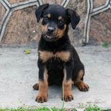 Perros Raza Rottweiler Cachorros Venta